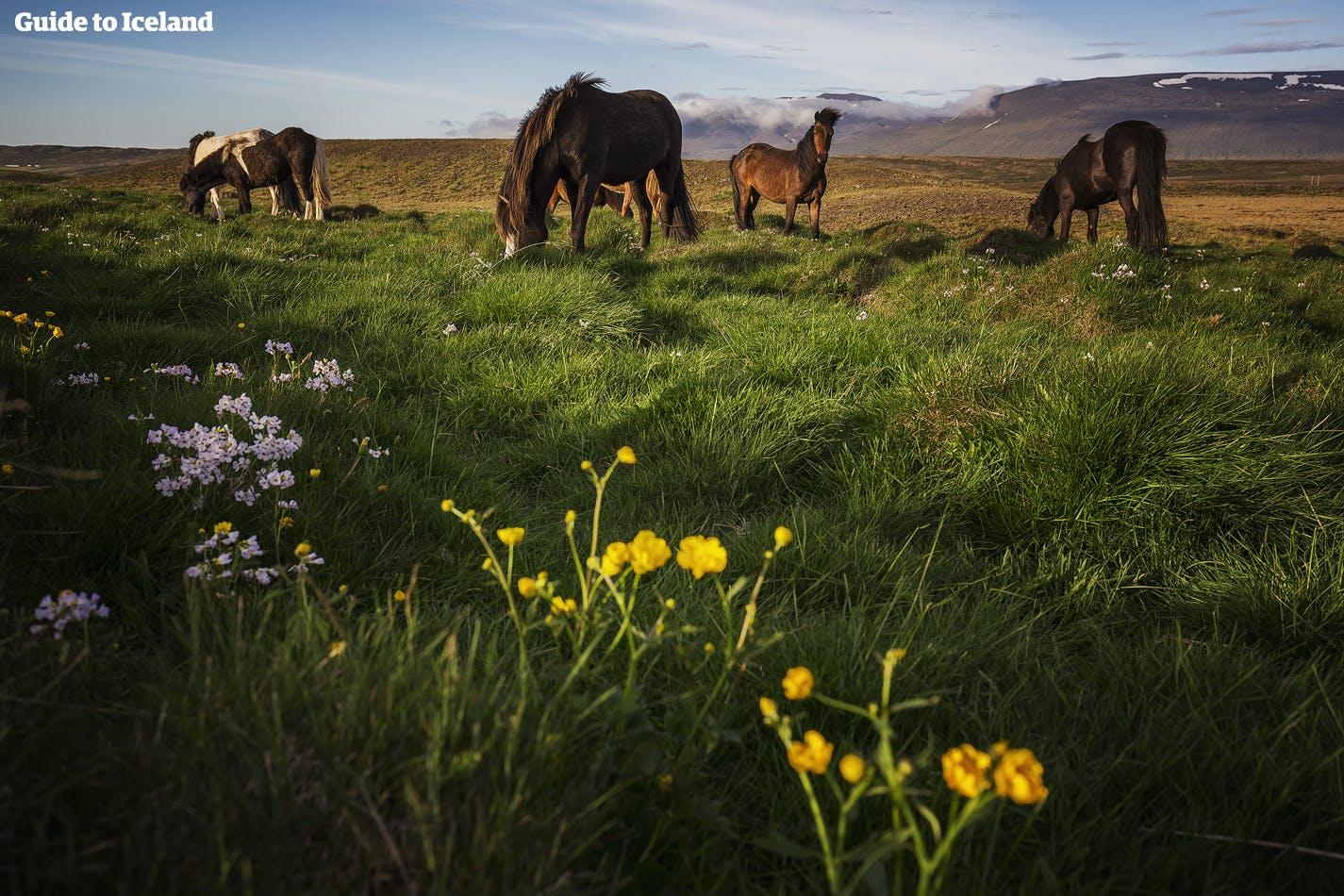 ม้าไอซ์แลนด์เล็มหญ้าในหน้าร้อน