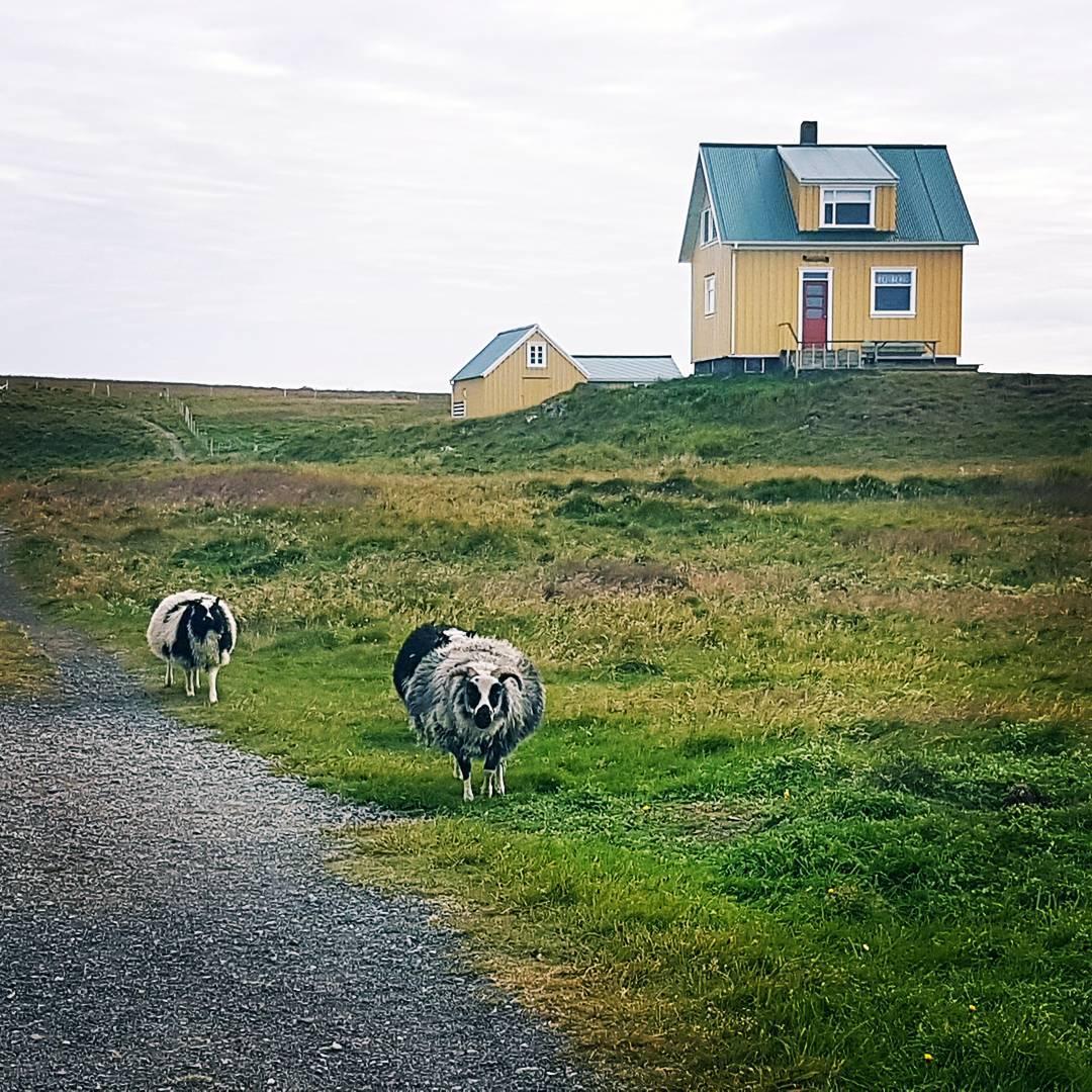 Sheep roaming around in Flatey